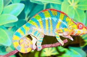 变色龙身体的颜色能快速变化,它到底是如何改变身体的颜色呢?