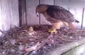 男子把老鹰的蛋换成鸡蛋,小鸡出壳后老鹰懵了,一世鹰名毁于一蛋