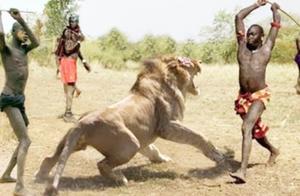 狮子为什么怕马赛人?镜头实拍马赛人日常,狮子:何必呢!