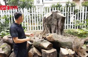 成都小区一米粗黄葛树被砍惹争议  小区到底该不该种黄葛树?