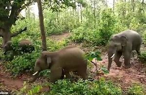 母象生下小象遭村民砸石头,象群勃然大怒,一男子惨被大象踩死