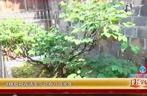 八百多年的牡丹花被折断,全村人都不干了,要求肇事者赔偿