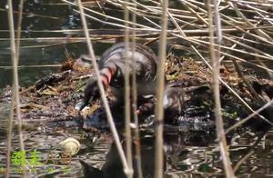 鸟妈妈不小心把蛋弄到水里了,鸟爸爸又把它弄回去了,过程好精彩