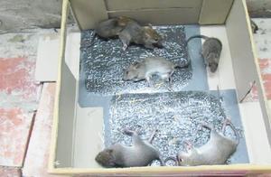几块钱的粘鼠帖把老鼠粘的痛苦不堪,老鼠:太折磨鼠了!