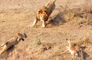 羚羊惨遭两只狮子围捕,绝境中居然出现转机,真是太幸运了!