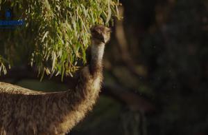 一起来看看超级可爱的澳大利亚动物吧,树袋熊看着真的很呆萌!