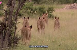 大象被14只狮子围攻,使出奇招逃生后,向狮子露出了得意的表情
