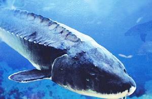 """与恐龙同时代的巨型淡水鱼,堪称""""水中活化石"""",就在我国黑龙江"""
