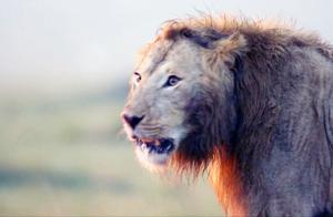 1只雄狮与20只鬣狗惨烈撕咬,绝望的雄狮即将被掏肛,意外发生