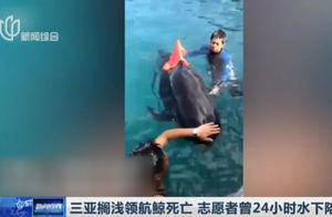 遗憾!三亚搁浅领航鲸不幸死亡,志愿者曾24小时水下陪伴