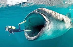 世界上最大的生物鲸鱼,把人活吞下肚后,还有存活的可能吗?