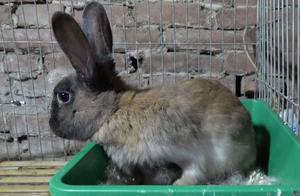 黑老头给小兔子喂奶,小兔还没吃饱,这兔妈一个转身就想跑!