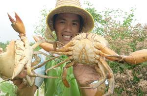 地笼几天没收,巨大隔年青蟹都抓到了,罗非鱼又是爆桶,好开心