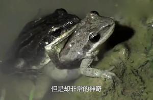 史上最神奇的青蛙,在地球上存活13亿年,跟恐龙同时代!