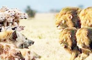 最强的狮子对最野性的鬣狗,展开一场大战,伤亡惨重不敢看
