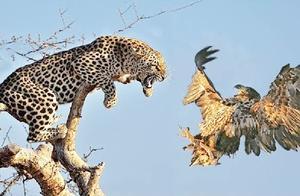 老鹰真是不长眼,挑衅猎豹,没想到惹祸上身!