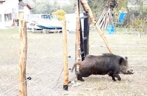 贪吃野猪落入,电篱笆陷阱,触电后无处可逃