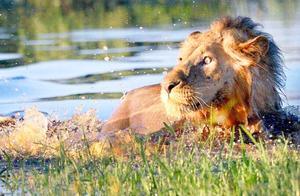 狮子过河被鳄鱼偷袭,被鳄鱼直接爆头,结局太惨烈
