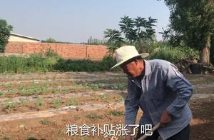 2019年农村小麦补贴涨了?一亩地能领多少钱?听听农村大爷怎么说