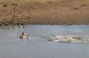 看着鳄鱼群游了过来!固执的羚羊瞬间消失了五只……