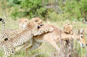 猎豹捕食羚羊,生无可恋的羚羊早已放弃希望,待在原地站着等死