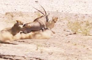 狮子捕猎羚羊,羚羊一个转身,吓得狮子直接跑掉,羚羊:吓死你