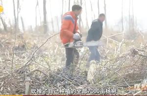 村民用半个月时间砍掉七千亩杨树!南洞庭又成为精灵的觅食宝库