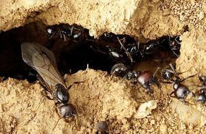 蚂蚁和飞蚁争夺巢穴,看自然界的神奇。争夺激烈你来我往堪比大片