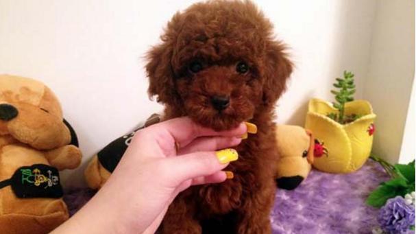 泰迪狗这么色为什么还有这么多人养它