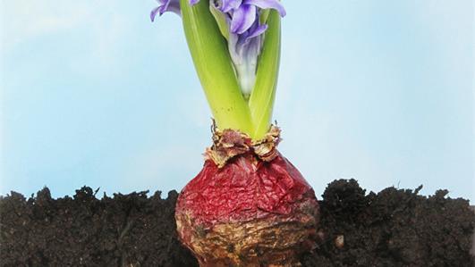 外观跟洋葱一样的花叫什么名字