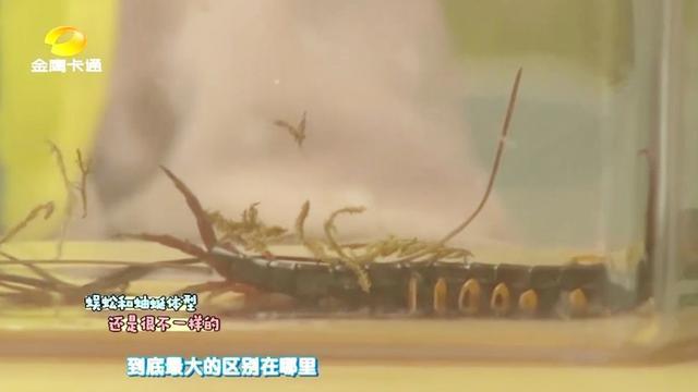 蚰蜒和蜈蚣有什么区别