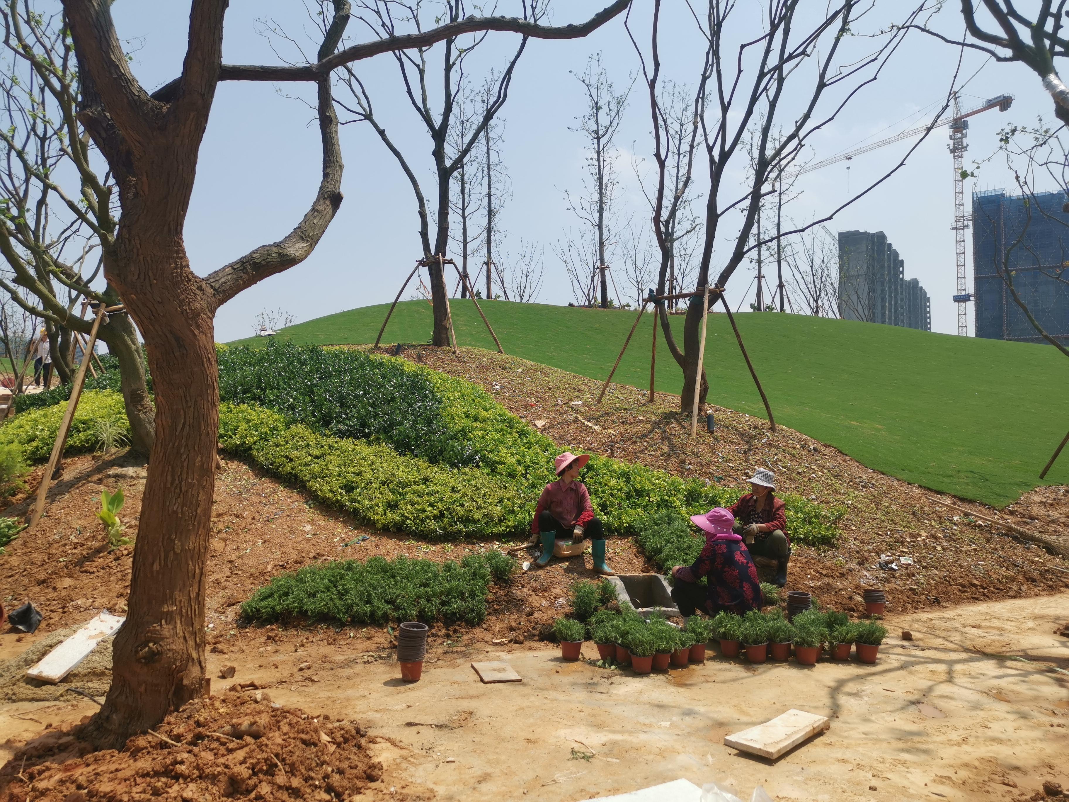 夏季绿化反季节施工,照着六步标准流水线作业,成活率超95%