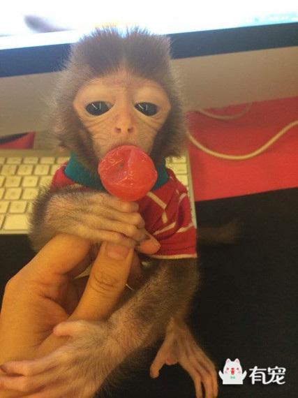 袖珍石猴好养不好都有哪些需要注意的