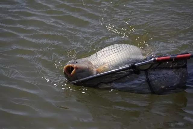 野钩青鱼用什么饵料