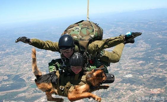 德牧,无愧为军犬首选,活跃在世界各地的部队里