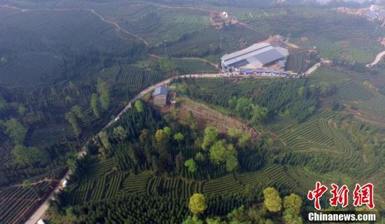 马边茶叶厂