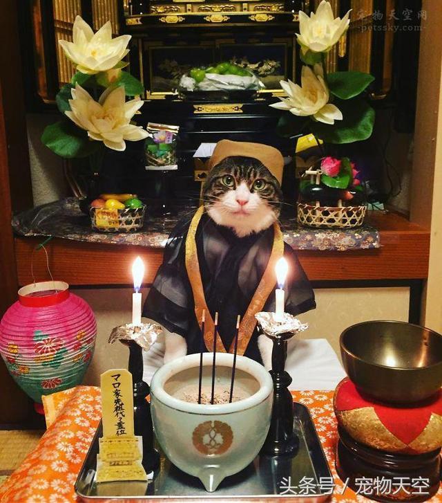 猫咪Maro与美食的幸福生活 它的伙食让人都有些眼馋