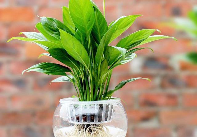 夏天在家里养些什么植物比较好