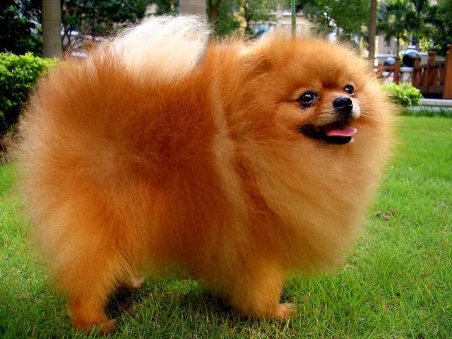 博美犬性格特点是什么