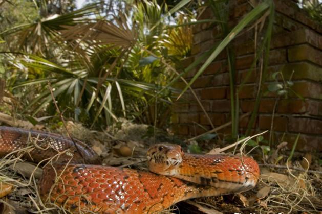 温顺、无毒、美丽的玉米蛇,你喜欢吗?