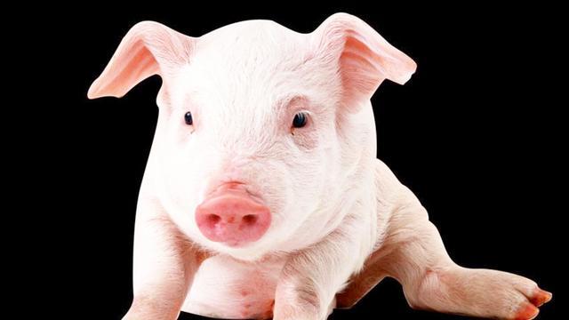 带猪的成语有哪些