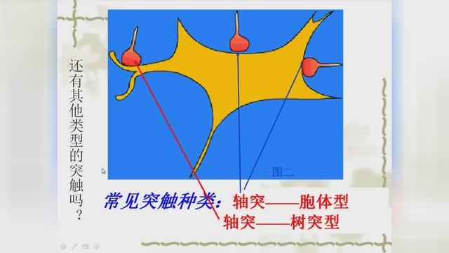 在神经元之间传递兴奋的结构是什么