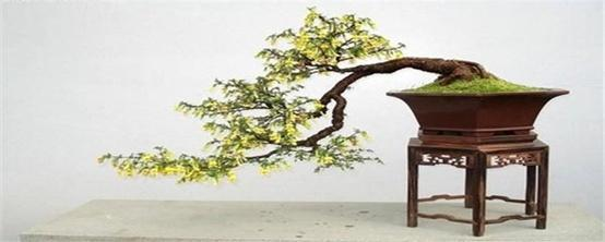 金雀花盆景怎么养护