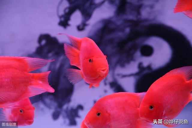 养鹦鹉鱼可不可以使用假山假水草