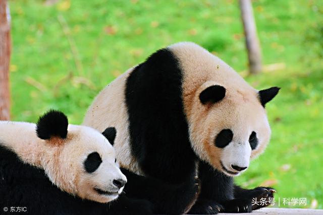 国宝的羞羞事,大熊猫靠叫声协调交配活动
