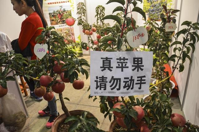 盆栽苹果树该怎样施肥