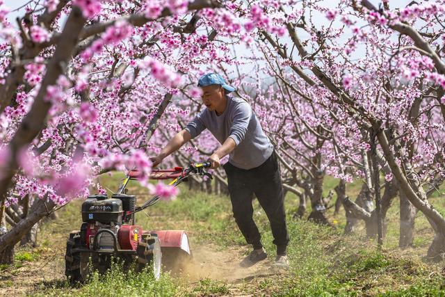 红花绿叶桃树是什么品种叫什么名