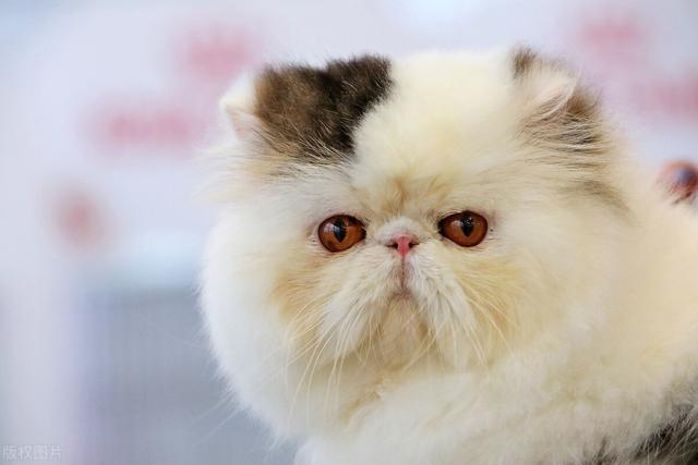 猫咪遭到斥责会背对主人,高傲地拒绝看主人,不过猫真正在做什么