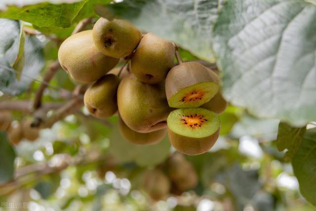 8月中旬猕猴桃上市啦,干货分享,帮你找到和你有缘的猕猴桃