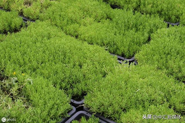 佛甲草的种植方法
